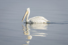 Pelican. S on the shore of the Kerkini Lake, Greece Royalty Free Stock Image