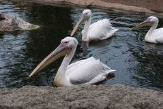 Pelican. S  in the zoopark of Valencia Stock Images