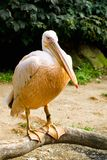 Pelican (Pelicanus onocrotalus) posing in camera Royalty Free Stock Image