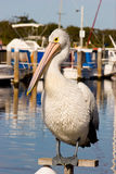 Pelican on a Perch. An Australian Pelican perching in front of a harbour Stock Photography