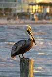 Pelican Perch At Clearwater Beach, Florida Royalty Free Stock Photo
