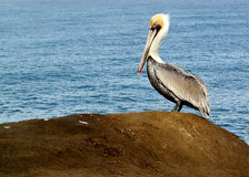 Pelican perched on a beach rock Royalty Free Stock Image