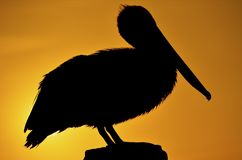 Pelican perched on a dock Stock Photography