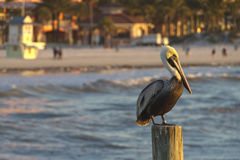 Pelican Perched In the Golden Light Off Clearwater Beach Royalty Free Stock Photos