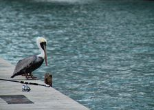 Pelican perched on ledge alongside fishing rod near ocean on Key West, Florida Stock Image