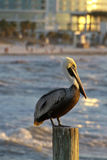 Pelican Perched  Offshore At Clearwater Beach, Florida Stock Images
