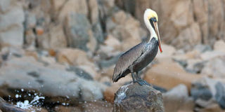 Pelican perched on Pelikan Rock in Cabo San Lucas Baja Mexico Royalty Free Stock Images