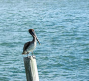 Pelican Perched. A pelican perched on a post in Florida royalty free stock photo