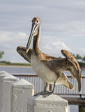 Pelican Perches on Post Stock Images