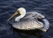 Pelican Perches in Water Royalty Free Stock Photography