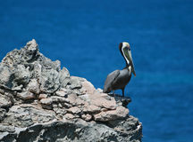 Pelican perching on cliff of Acantilado Amanecer (Ciff of the Dawn) at Punta Sur on Isla Mujeres island just off Cancun Royalty Free Stock Photo