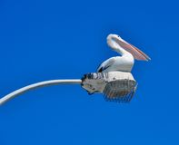Pelican Perspective Royalty Free Stock Photography