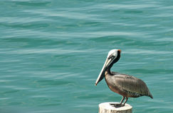 Pelican. A photograph of a pelican sitting on a post by the water Royalty Free Stock Images