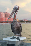 Pelican on Pier. Pelican on Clearwater Beach Pier Stock Images