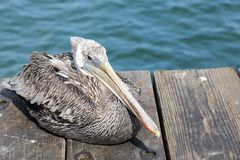 Pelican on pier Royalty Free Stock Image