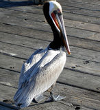 Pelican on a pier Royalty Free Stock Photo