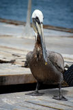 Pelican on a pier. Black and White Pelican on a pier in San Diego Royalty Free Stock Images