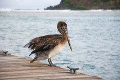 A pelican on a pier Royalty Free Stock Photo