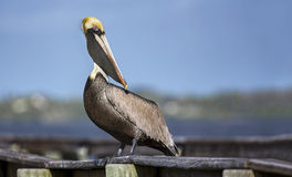 Pelican on Pier Royalty Free Stock Photography