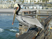 Pelican on Pier Royalty Free Stock Photo