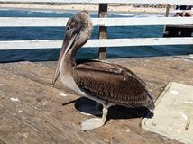The Pelican on the pier Royalty Free Stock Photos