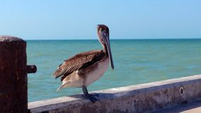 Pelican on the pier in Progreso, Mexico. Pelican doing his show on the pier in Progreso, Mexico Stock Photography