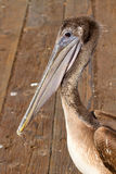 Pelican at the Pier in San Francisco Bay Stock Photography