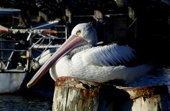 Pelican on a pile. stock photos