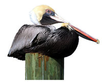 Pelican on piling Stock Photos