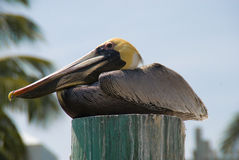 Pelican on a Piling Stock Photos