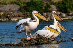 Pelican or Pink Pelican in Danbe Delta Romania. Reservation stock image