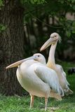 Pelican or Pink Pelican group at the zoo Royalty Free Stock Photography