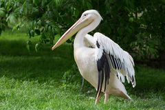 Pelican or Pink Pelican at the zoo Royalty Free Stock Photos