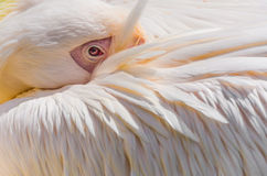 Great white pelican close-up royalty free stock photography