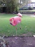 Flamingo on one leg Stock Photo