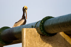 Pelican on Pipe Stock Image
