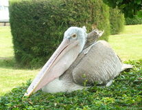 Pelican. On plant in nature Stock Photography