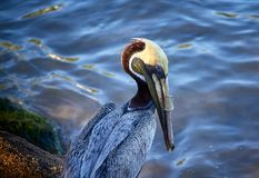Pelican with plastic tube in its beak. Product of pollution Royalty Free Stock Photo