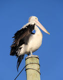 Pelican on pole. Pelican with lifted wings on pole Stock Photos
