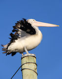 Pelican on pole. Pelican with lifted wings on pole Royalty Free Stock Images