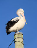 Pelican on pole. Pelican perched high on pole Stock Photography