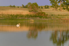 Pelican pond. Pelican on a small pond Royalty Free Stock Photos