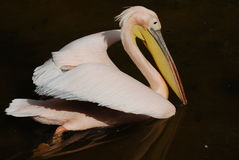 Pelican In Pond Royalty Free Stock Image