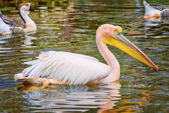 Pelican on the Pond Stock Image