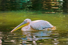 Pelican on the Pond Stock Images