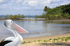 Pelican at Port Douglas shore front Stock Photos