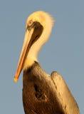 Pelican Portrait Stock Photography