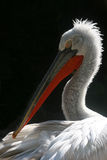 Pelican Portrait Stock Images