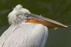 Pelican portrait Royalty Free Stock Photo