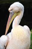 Pelican portrait Royalty Free Stock Photo